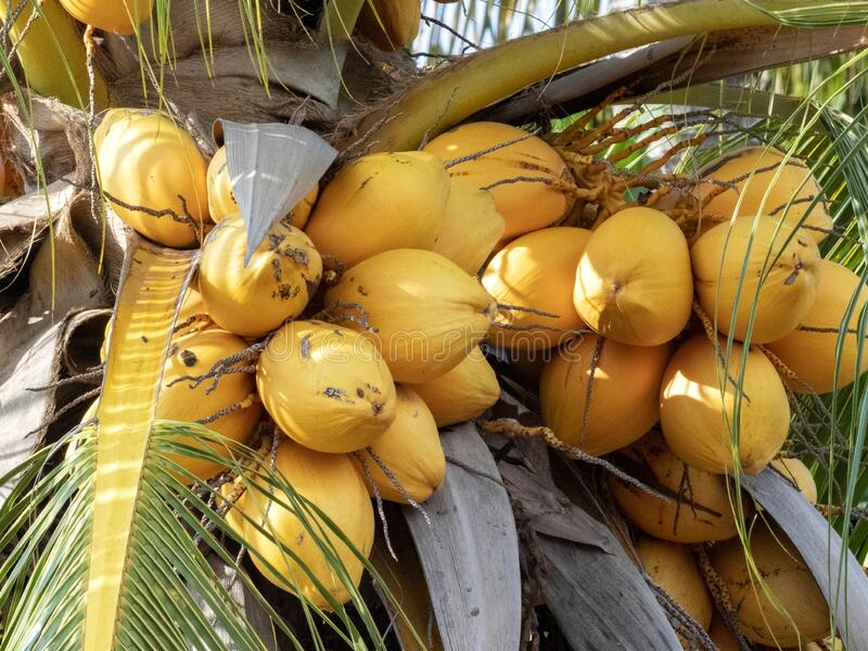 Ripe coconut palm fruit on tree, Indonesia. The Ripe coconut palm fruit on tree, Indonesia royalty free stock image