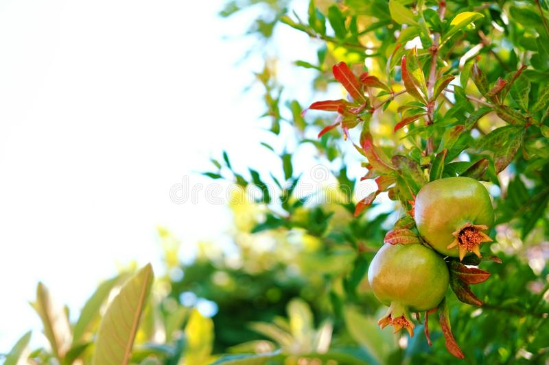 Ripe Colorful Pomegranate Fruit on Tree Branch. The Foliage on the Background. Text space. stock image