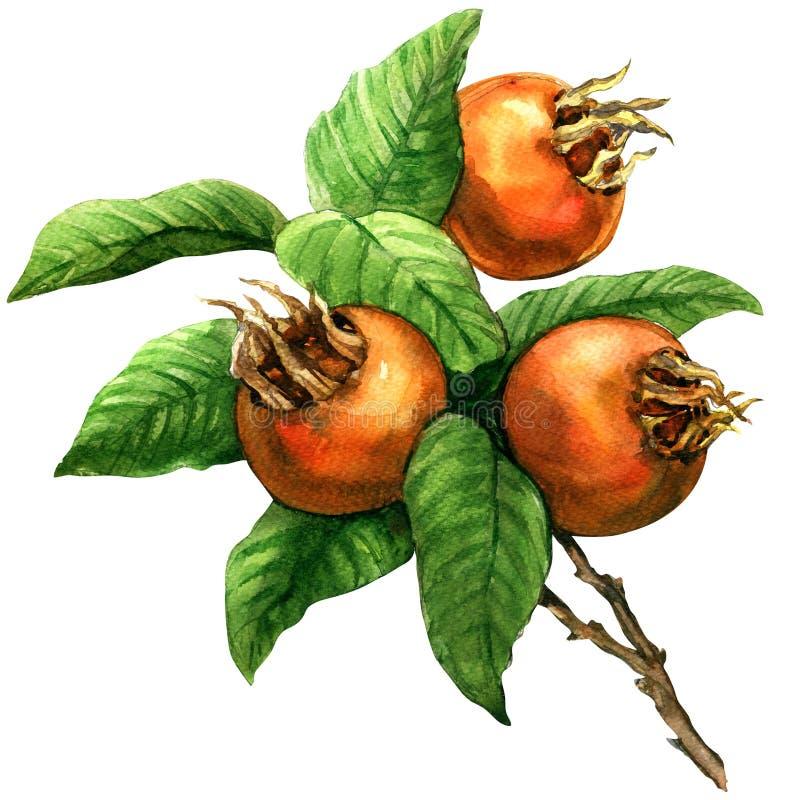 Ripe common medlar fruit, loquat, mespilus germanica, isolated, watercolor illustration vector illustration