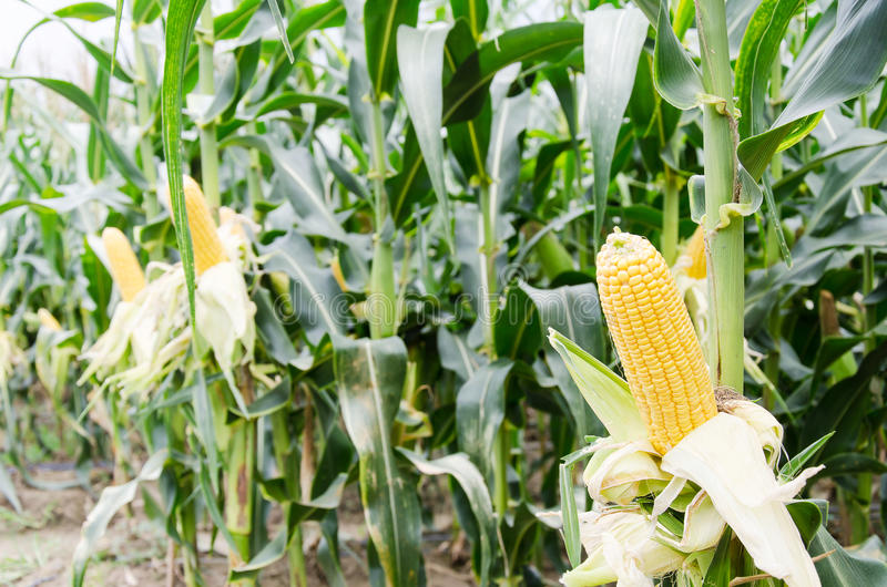 Ripe corn cob in corn field stock images