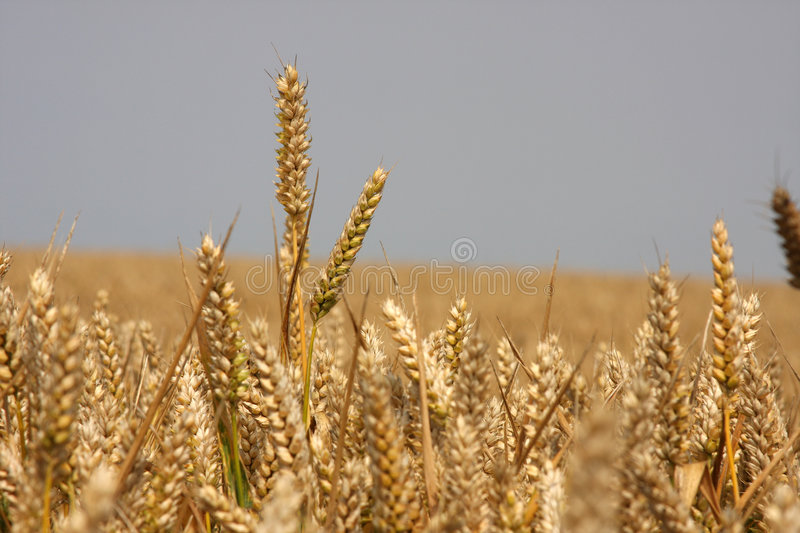 Ripe corn in field ready to harvest. royalty free stock image