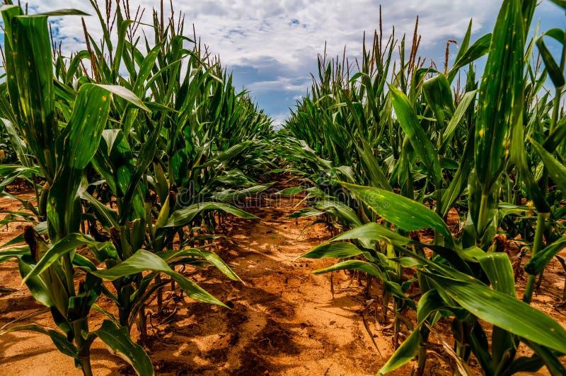 Ripe corn field stock images