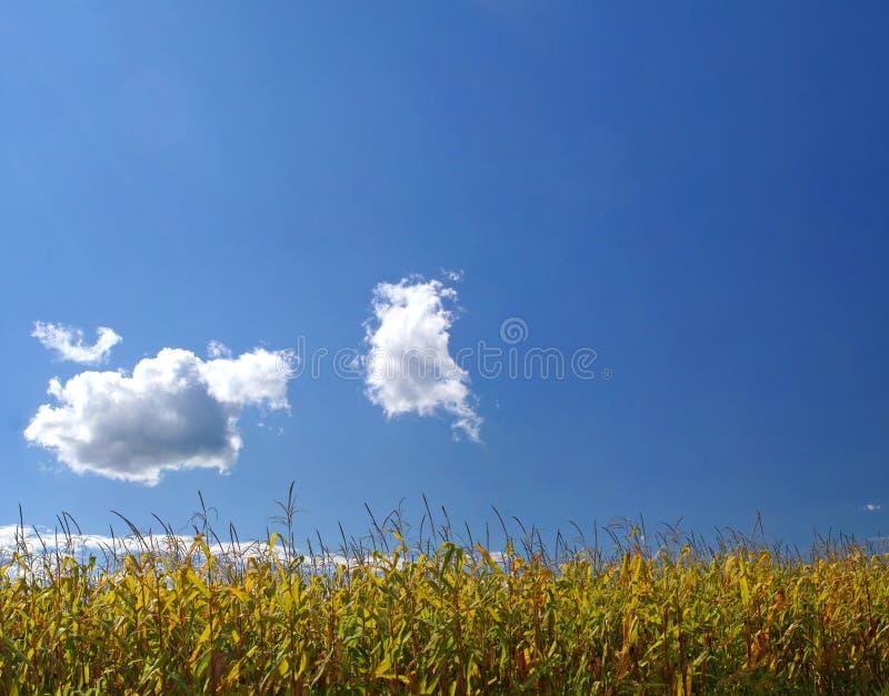 Ripe Corn Field Under Sky Royalty Free Stock Image