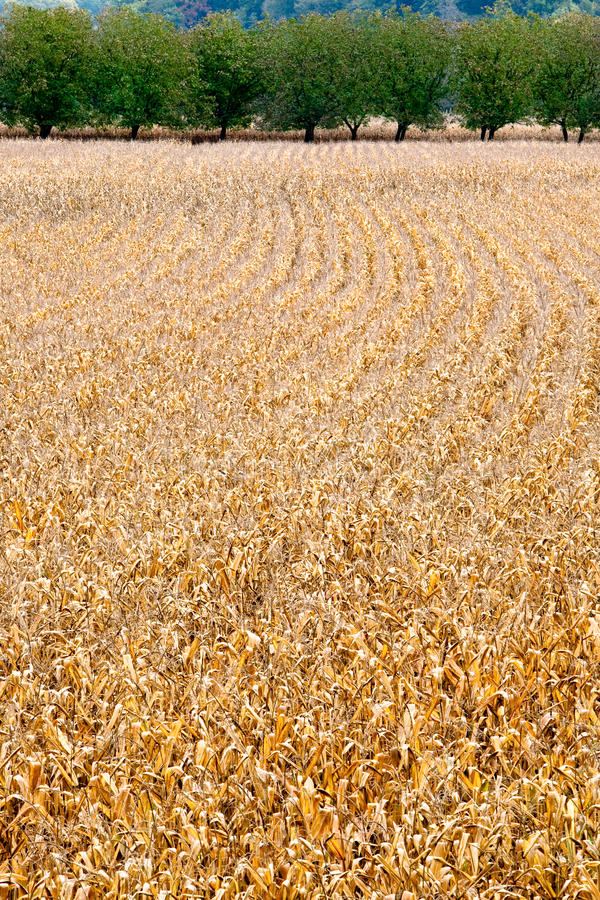 Download Ripe corn fields stock photo. Image of soil, plant, vegetables - 12878210