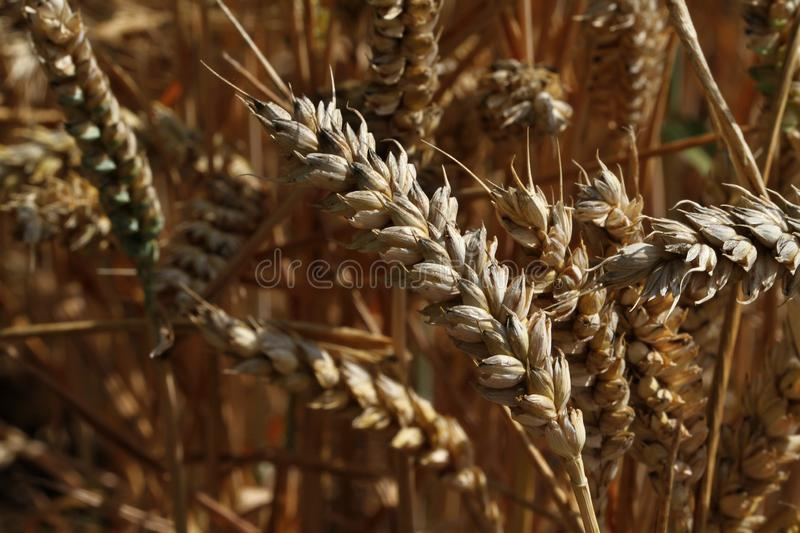 Ripe corn ready for harvest in close up. royalty free stock photo