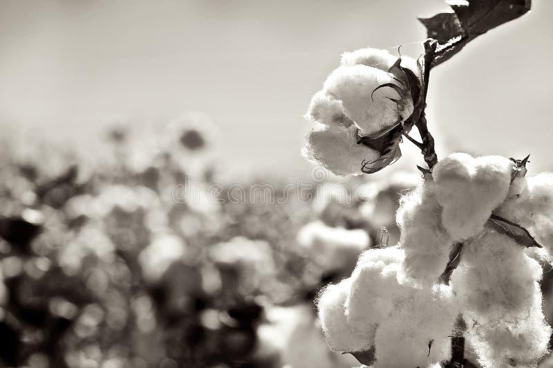 Ripe cotton bolls on branch stock image