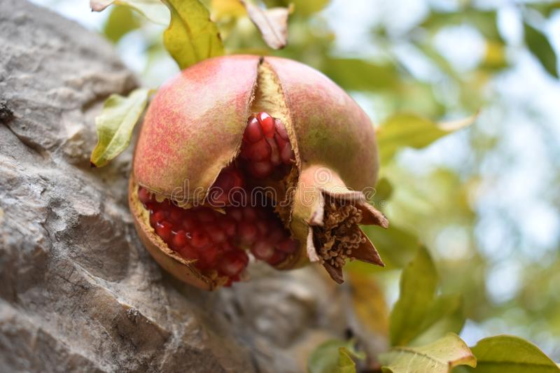 The ripe,cracked,wild pomegranate stock photography