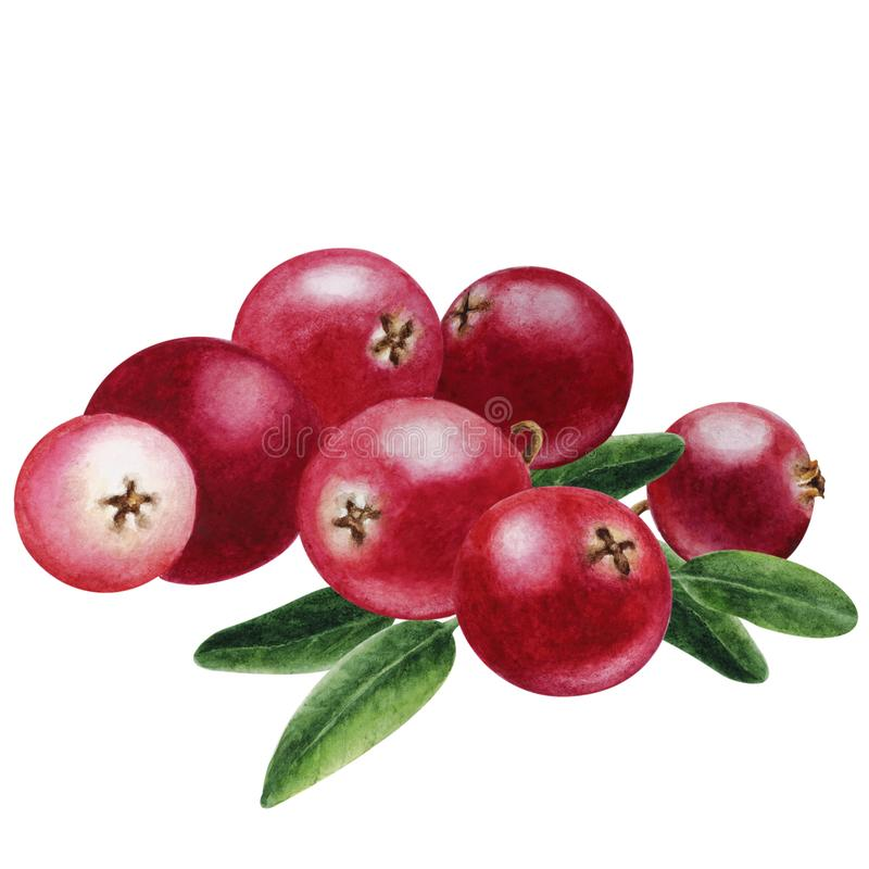Ripe cranberries close-up, hand drown watercolor royalty free illustration