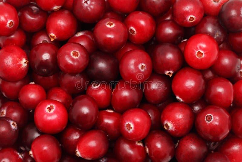 Ripe cranberry stock image