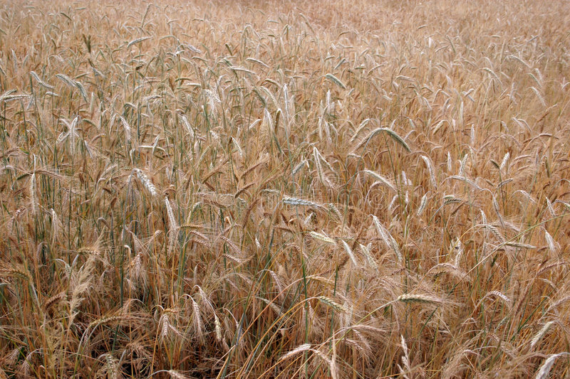 Download Ripe Crops Royalty Free Stock Image - Image: 192206