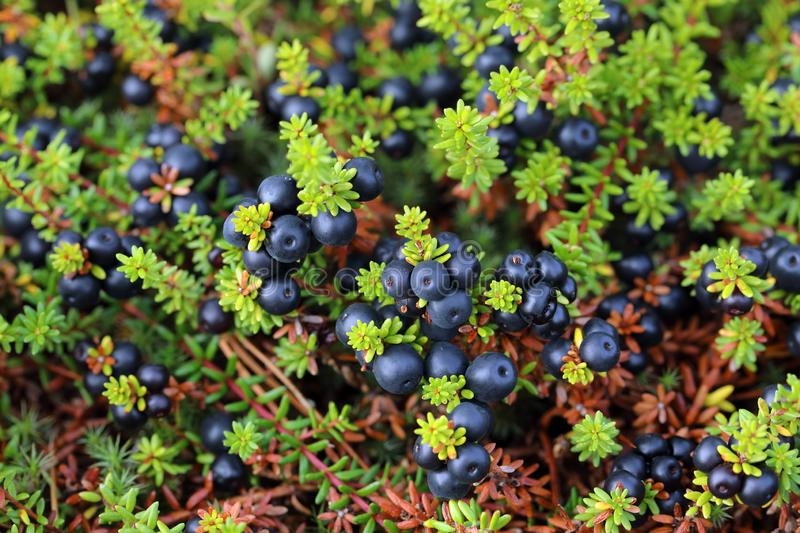 Ripe crowberry fruit in the forest tundra of Siberia. Empetrum. Crowberry close-up on the Yamal Peninsula stock photos