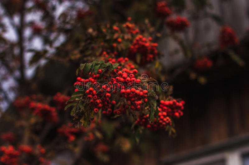 Ripe currants on the branch royalty free stock photos