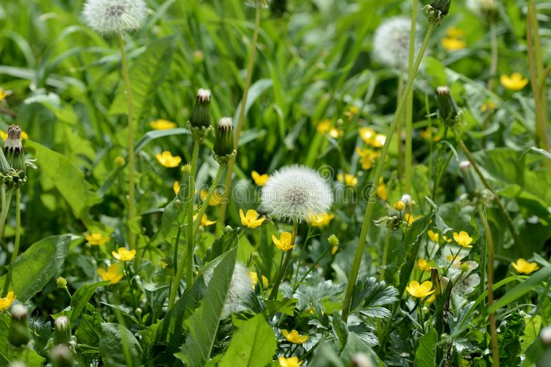 Ripe dandelion flower in the green grass on the summer lawn. Close up royalty free stock photo
