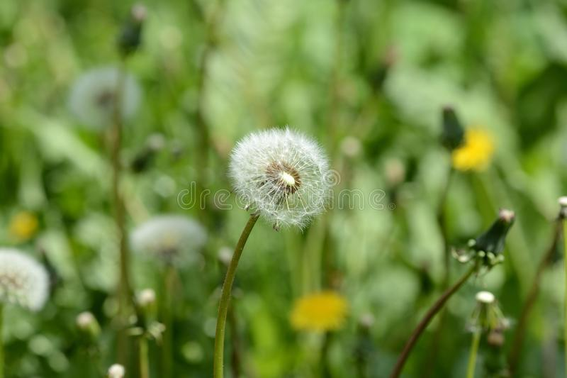 Ripe dandelion flower in the green grass on the summer lawn. Close up royalty free stock images