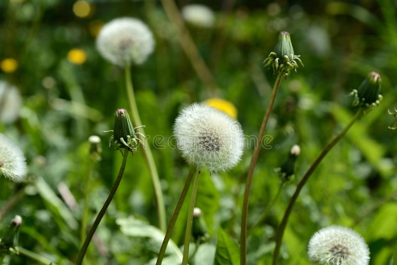 Ripe dandelion flower in the green grass on the summer lawn. Close up stock photo