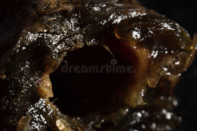 Ripe date fruit, macro stock images