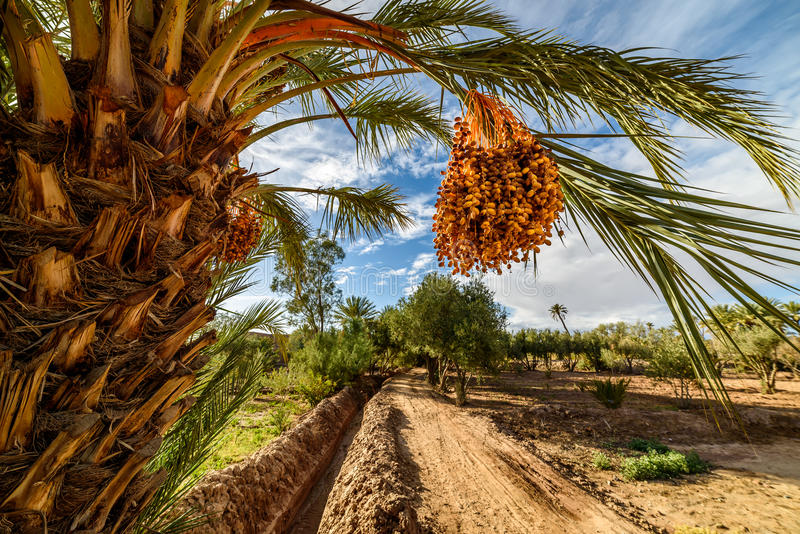 Ripe dates on a palm tree in Palmeraie, Morocco royalty free stock photo