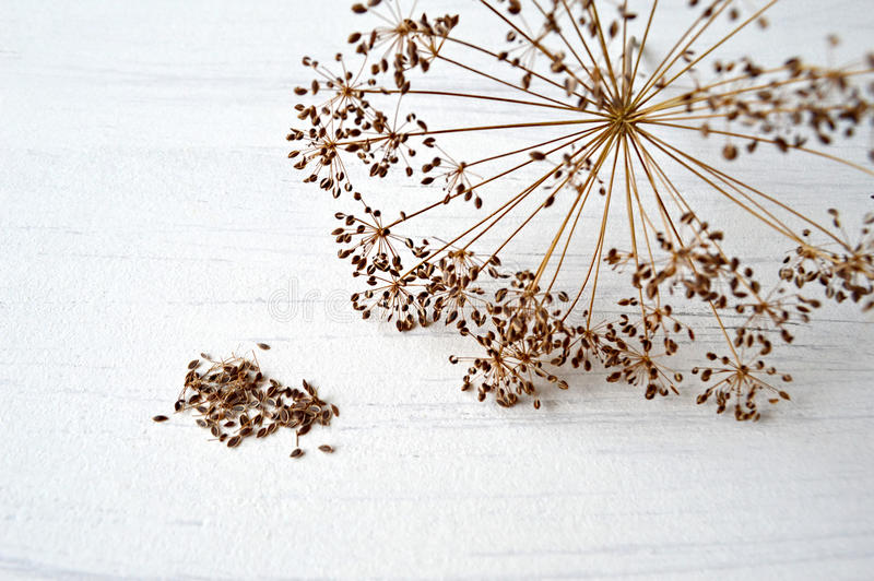Ripe dill seed. On white background stock photos