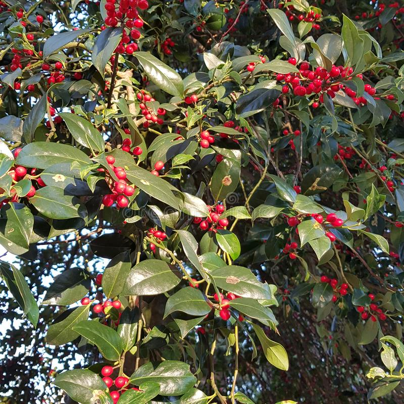 Ripe drupes of Japanese cornel, Cornus officinalis in autumn. The bright red fruits of the Japanese cornel, Cornus officinalis, decorate many gardens and parks stock photography