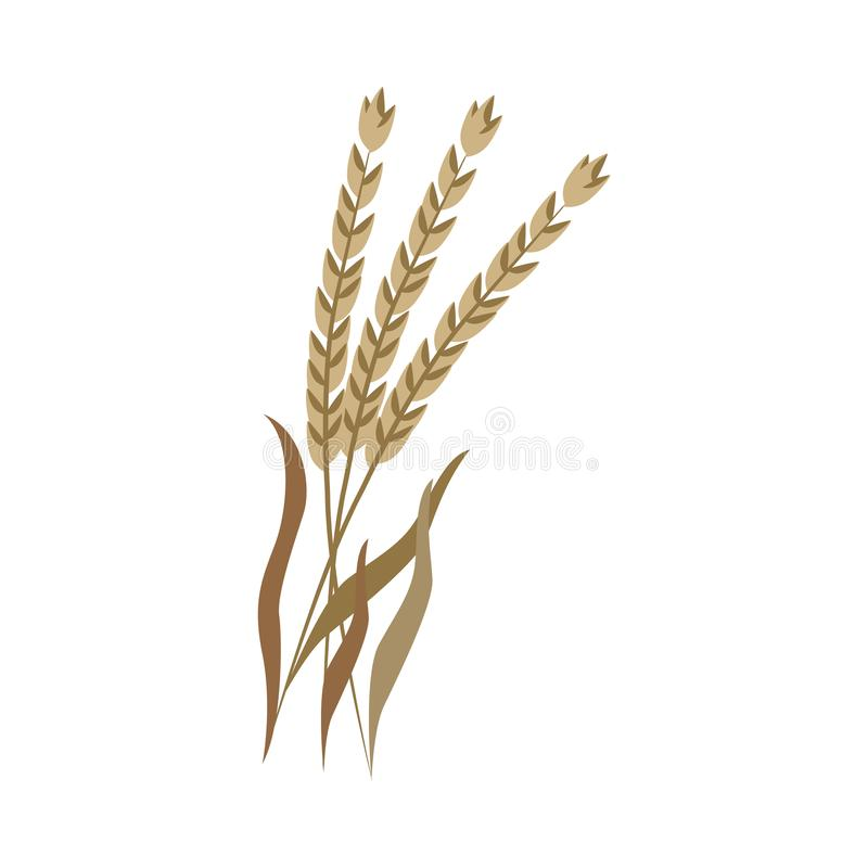 Ripe dry ears of spelt on stem in flat style. Ripe dry ears of spelt on stem in flat style - vector illustration of brown whole cereal spike of dinkel wheat stock illustration