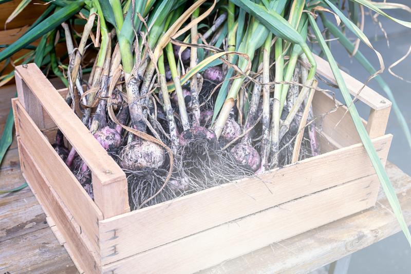 Ripe Dug Garlic Autumn Harvest Vegetable Garlic on Wooden Box Horizontal Toned Harvest Concept.  royalty free stock images