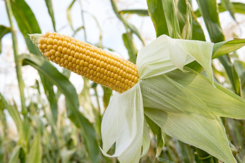 Ripe ear of corn growing on a field before harvesting. Close-up royalty free stock photos