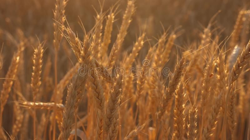 Ripe ears with ripe grain are swaying by the wind. close-up. mature cereal harvest. Yellow field of wheat in the golden. Ripe ears with ripe grain are swaying by vector illustration