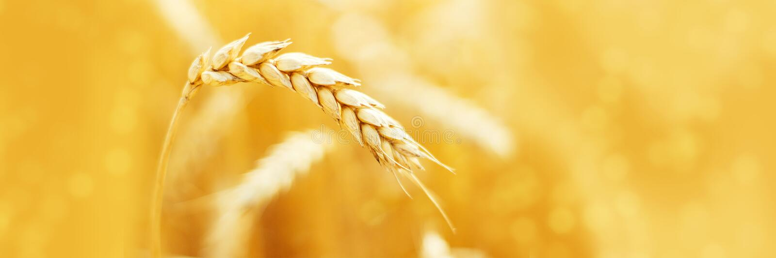 Ripe ears of rye in field during harvest. Agriculture summer landscape. Rural scene. Macro. Panoramic image royalty free stock photos