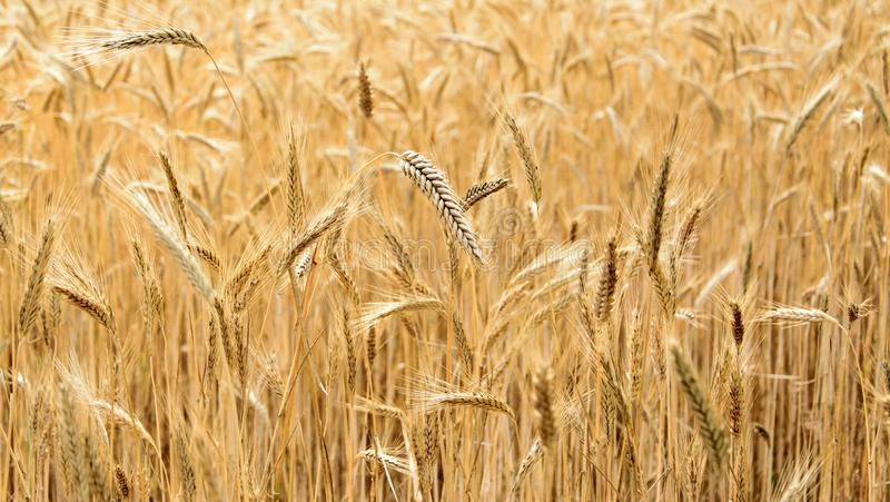 Endless wheat field. Ripe wheat crop in summer. Ripe ears of wheat close-up stock photo
