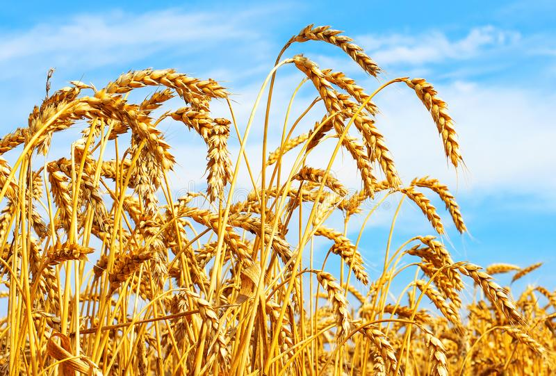 Ripe ears of wheat in field during harvest close up. Agriculture summer landscape. Rural natural background royalty free stock photos