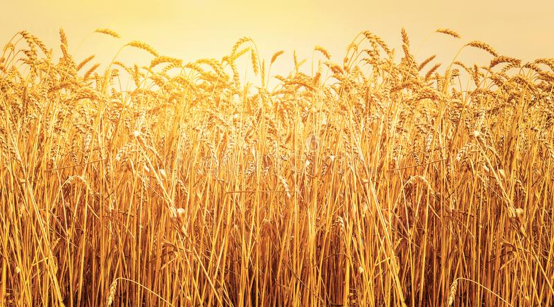 Ripe ears of wheat in field during harvest. Sunset. Agriculture summer landscape. Rural scene stock image