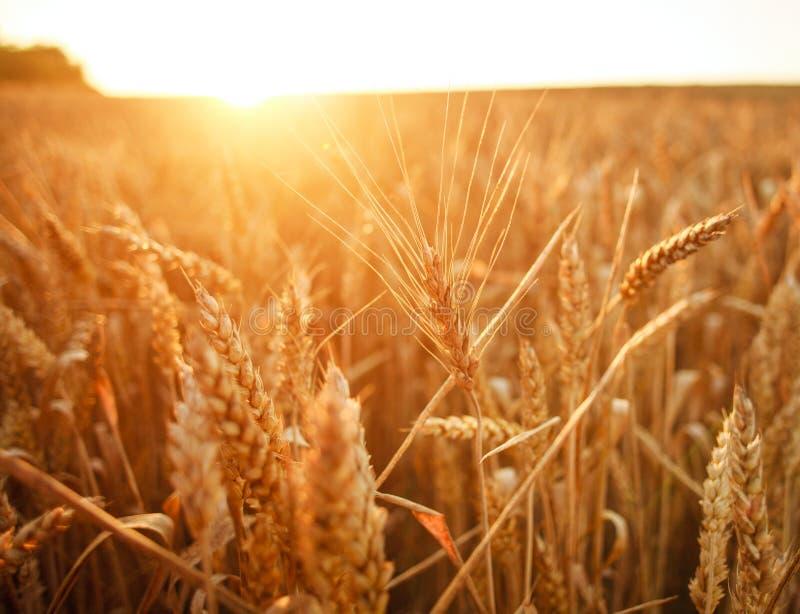 Ripe ears of wheat on growing field in rays of dawn sun light royalty free stock photo