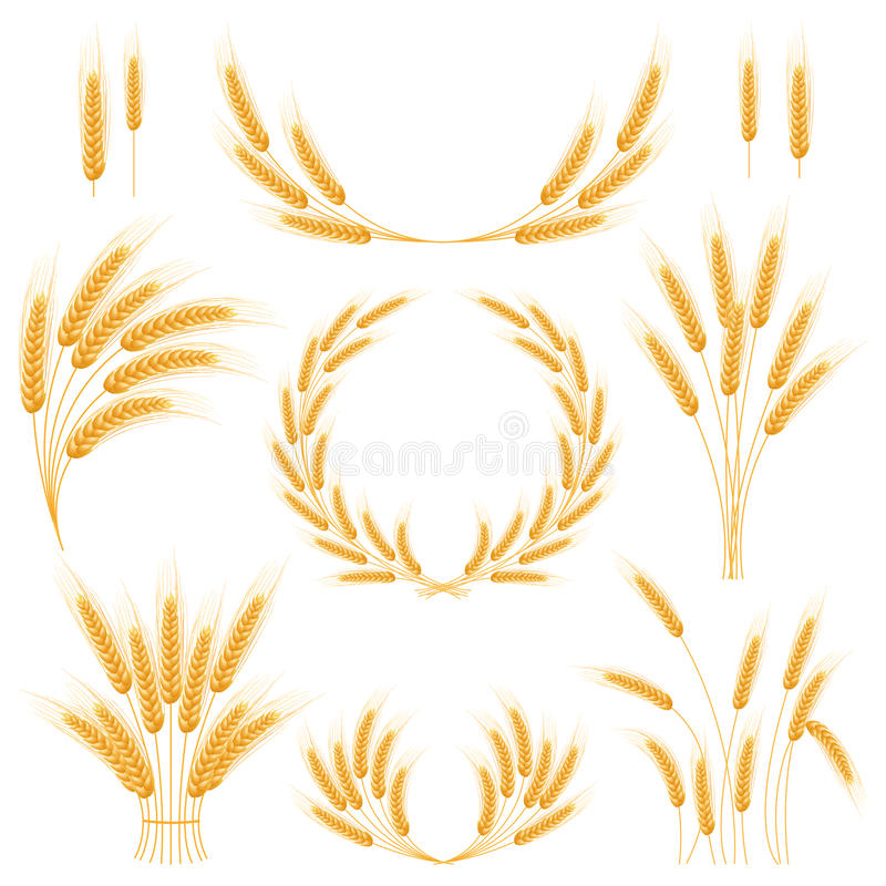 Ripe Ears wheat set. Isolated detailed template. EPS10 vector illustration