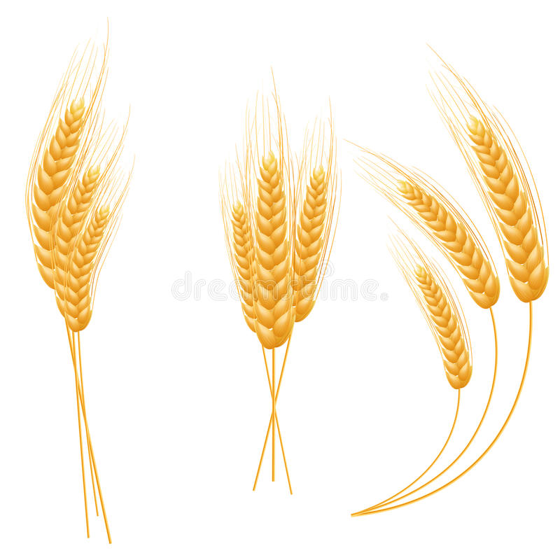 Ripe Ears wheat set. Isolated detailed template. EPS10 stock illustration