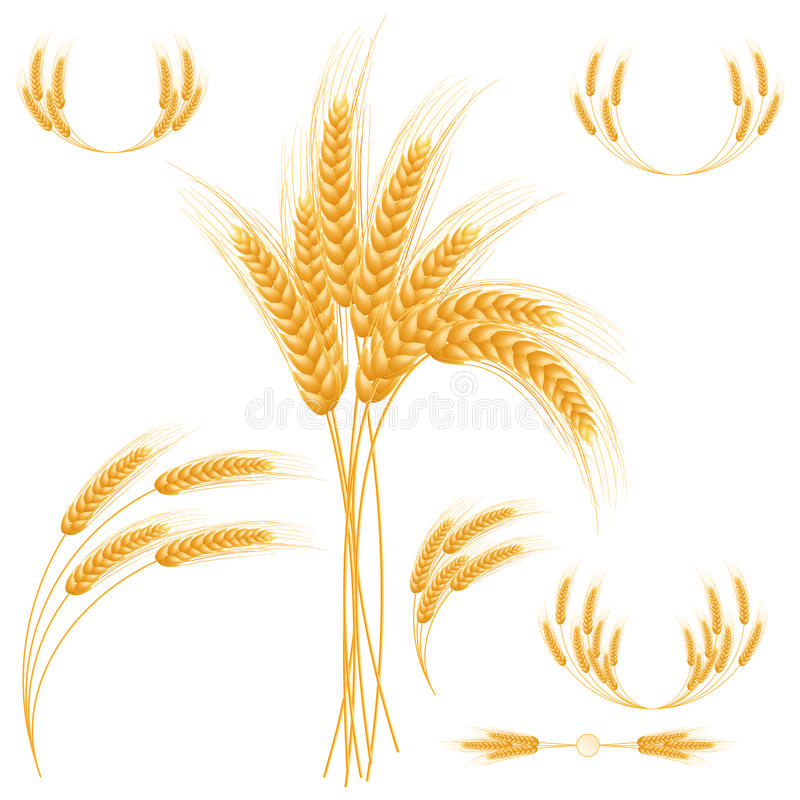 Ripe Ears wheat set. Isolated detailed template. EPS10 royalty free illustration