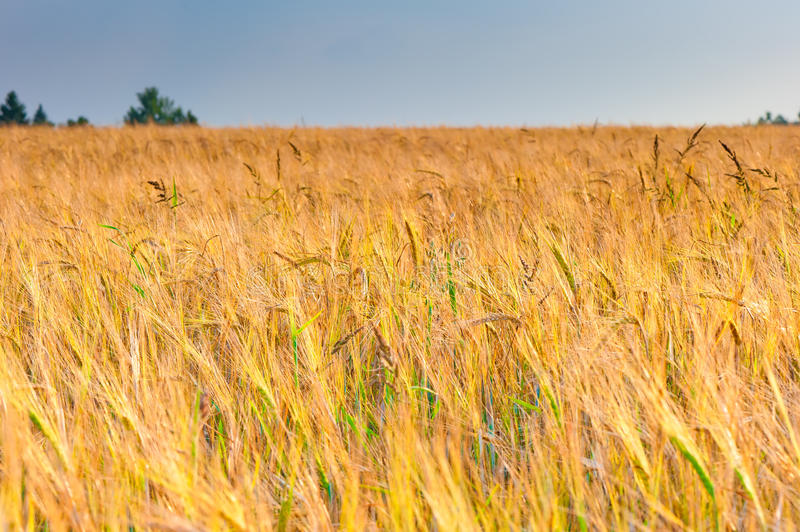 Ripe Ears Of Wheat In The Sunlight Before Harvest Stock Image
