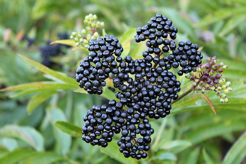 Ripe elderberry stock images