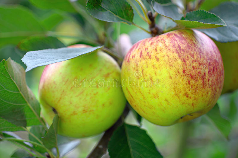 Ripe English apples, growing on a tree royalty free stock photography