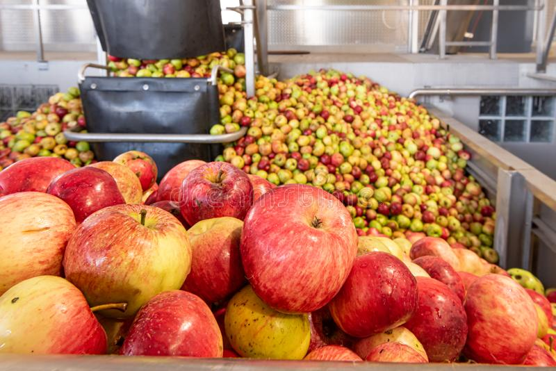 Ripe fall apples in a storage silo, ready to squeeze apple juice. Ripe fall apples in a container, ready to squeeze apple juice royalty free stock photos