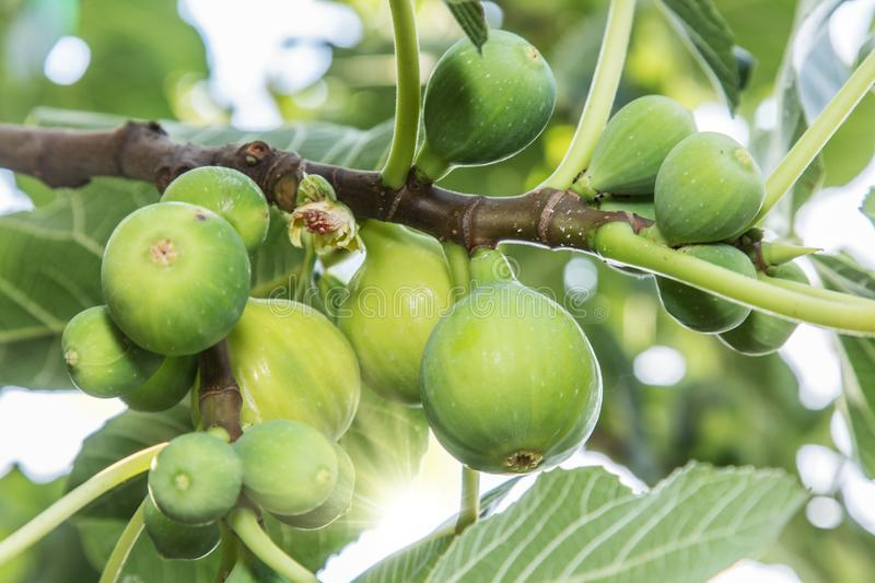 Ripe fig fruits on the tree. stock photography