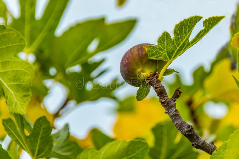 Ripe fig on the tree, close up, soft focus royalty free stock photography