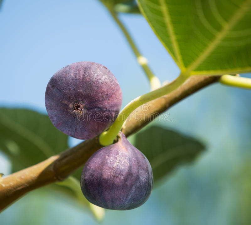 Ripe figs fruits on the tree. royalty free stock image