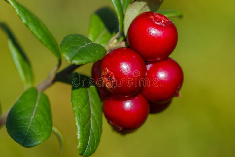The ripe, fresh berries of cowberries (lingonberry, partridgeberry or cowberry) in the forest. Macro photo. Nature in summer seas. On stock image
