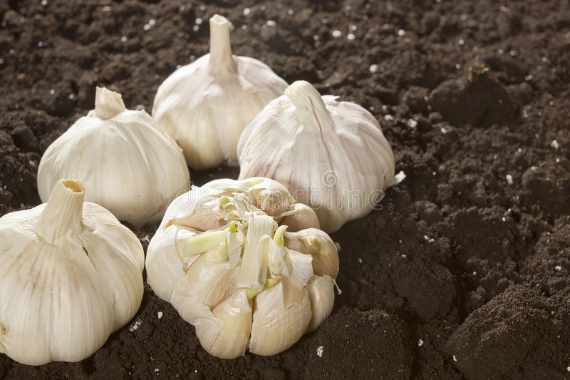 Ripe fresh garlic. On freshly scraped ground royalty free stock photo