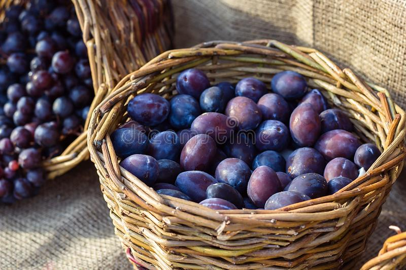 Ripe fresh purple organic plums in basket on the market. Harvest time. Fresh fruits shopping at the local outdoor farmers market stock images