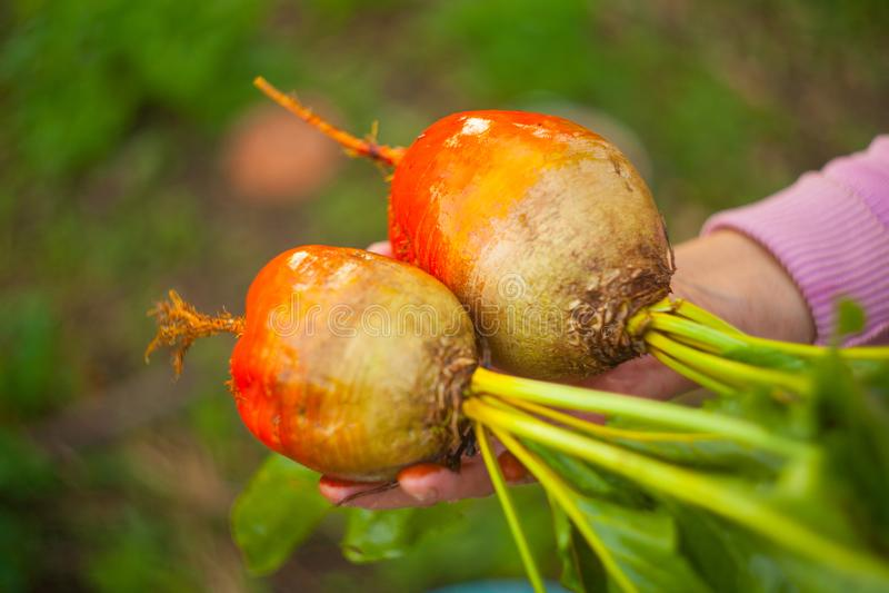 Ripe fresh yellow beet on garden bed royalty free stock photo