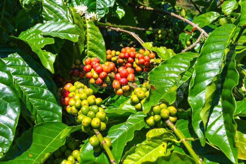 Ripe fruit on the coffee plantations. In the Vietnamese province royalty free stock image