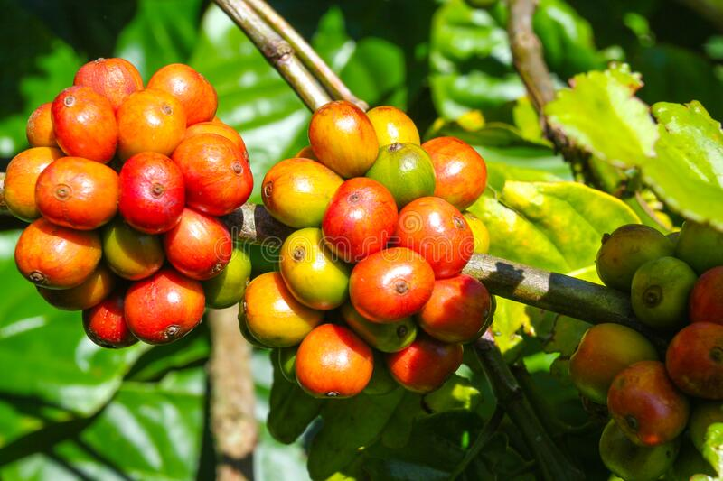 Ripe fruit on the coffee plantations. In the Vietnamese province stock image