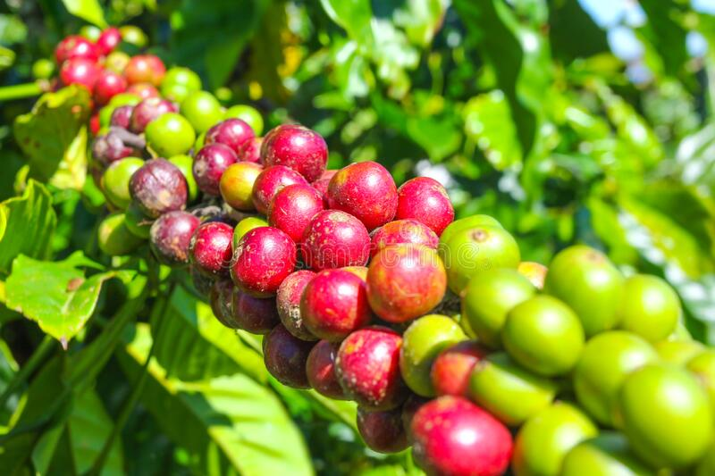 Ripe fruit on the coffee plantations. In the Vietnamese province royalty free stock photos