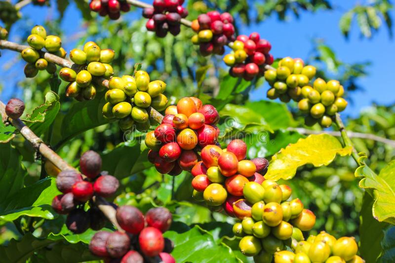 Ripe fruit on the coffee plantations. In the Vietnamese province stock images